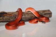 Calico-Snake_3