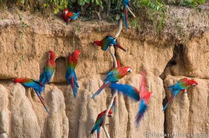 Macaw clay lick.jpg