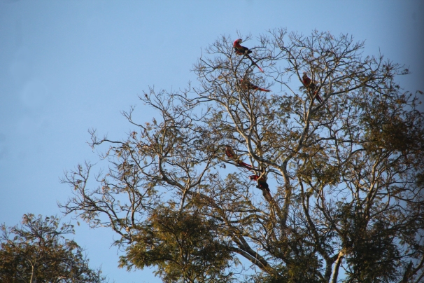 Macaws perched 2.jpg